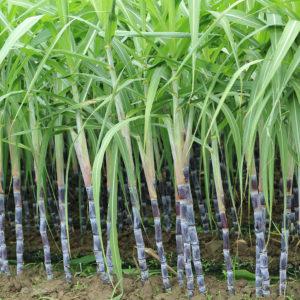 biogreenmark-sugarcane-01
